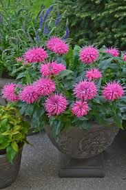 They are very easy plants to care for that offer prolific blooms throughout the summer, and they do best in hanging pots or their own containers with a trestle for vine support. Overwintering Pretty Potted Perennials And Shrubs Proven Winners