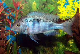 Small Picture Discussion and guide on keping Blue dolphin cichlids in fish tanks