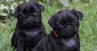 black pugs for sale. Perfect For Couple Of Black Pugs And Black Pugs For Sale