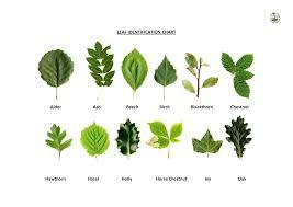 Identification Chart For Leaves Yf 36 Ashton Hampton Photos Tree Leaf