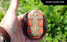 How To Tell What Painted Turtle Species You Have Turtleholic