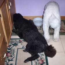 Poodle Feeding Chart The Healthy Dog How Much To Feed A Standard Poodle