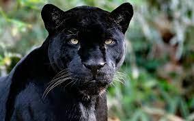 Free download Asignacin Animales Salvajes Pantera Negra [1600x900] for your  Desktop, Mobile & Tablet | Explore 72+ Black Leopard Wallpaper | Black  Jaguar Wallpaper, Black Panther Marvel HD Wallpaper, Black Panther  Wallpaper Marvel