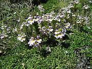 Specie di Euphrasia - Wikipedia