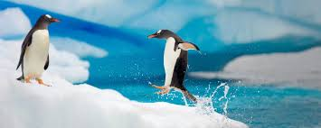 penguin facts worksheets species information for kids pdf  penguins don t live near freshwater at least none that isn t frozen instead they drink salt water they have a special gland in their bodies that takes