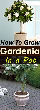 growing gardenias in pots require some care and attention but they worth that as gardenias are