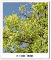 neem tree nimba uses of neem significance of neem eco  neem tree