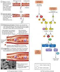 Coagulation Of Blood Flow Chart Hemostasis Anatomy And Physiology Ii