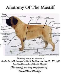 English Mastiff Growth Chart Height English Mastiff Growth Rate Goldenacresdogs Com