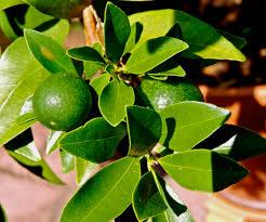 Kumquat Tree  Googleu0027da Ara  MEYVELER SEBZELER  Pinterest Kumquat Tree Not Bearing Fruit