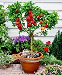 the best dwarf fruit trees to grow in