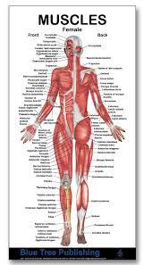 Muscle Charts Female Muscle Mini