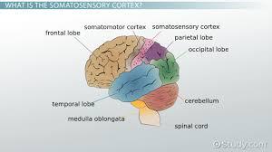 somatosensory cortex definition location function video lesson transcript study