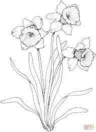 Coloriage Plant De Narcisse Avec Trois Fleurs Coloriages