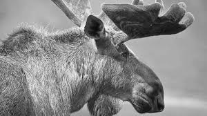 moose dream interpretation and meaning