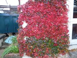Climbing Plants For Walls And Fences  Plants For A Purpose Wall Climbing Plants India