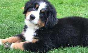 bernese mountain dog puppies.  Dog Bernese Mountain Dog Puppies NY To