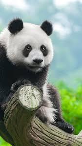 panda cute s 4k vertical