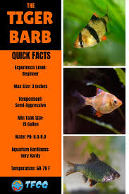 Freshwater Fish Tank Temperature Chart Ultimate Guide To Tiger Barb Fish Care Feeding Breeding
