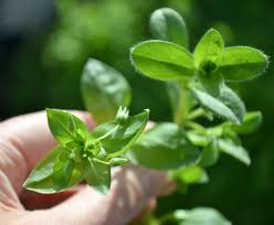 Eat the Weeds: Chickweed - Plant Talk