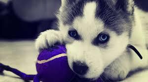 cute siberian husky puppy wallpaper.  Puppy Free Husky Puppy Image  Long Wallpapers In Cute Siberian Wallpaper A