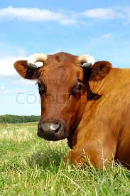 brown cow face. Wonderful Face Cow Face Stock Photo In Brown Face