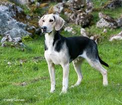 Small Picture 18 best Dunker images on Pinterest Norway Dog breeds and Hound dog