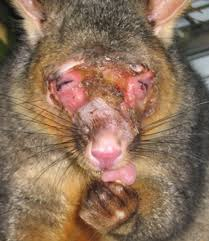 Brushtail Possum An Overview Sciencedirect Topics