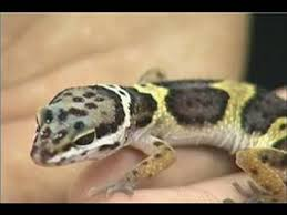 How To Care For A Leopard Gecko Feeding Schedule For A Gecko