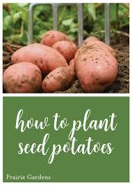 how to plant seed potatoes prairie gardens champaign il prairiegardens com