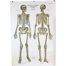 American Frohse Anatomical Charts Key 20 Actual Nystrom Anatomical Chart