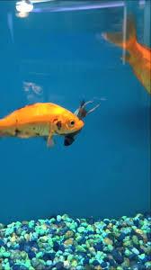 petco goldfish. Fine Goldfish Petco  Goldfish Eats Betta Poor Guy Inside