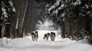 Znalezione obrazy dla zapytania wilki