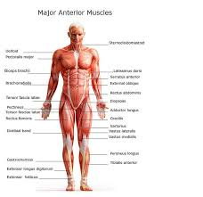 Major muscles of the body, with their common names and scientific (latin) names your job is to diagram and label the major muscle groups, for both the anterior (frontal) view and the posterior (rear) view. Chart Of Major Muscles On The Front Of The Body With Labels