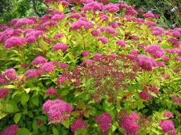 Image result for pink spirea