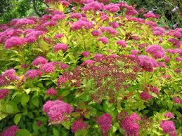 Image result for pink spirea