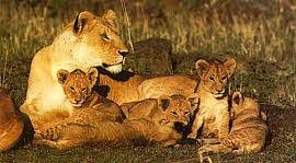 lioness and 4 cubs. Exellent Lioness Lion Cubs Still Have Spots That Disappear When They Grow Up 4 The Lioness  Hunting Prey While The Lion Shall Eat First  And Lioness 4 T