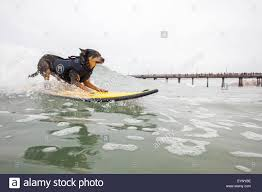 Image result for imperial beach surf dog