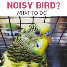 What To Do When Your Parakeet Wont Stop Squawking Pethelpful