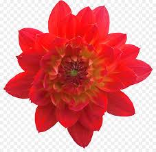 Roselle Blüte Tee Weihnachtsstern Kerze Blume Png