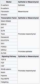 Epithelial Mesenchymal Transition Wikipedia