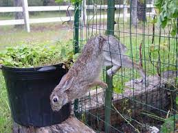 darn rabbits fenced vegetable garden