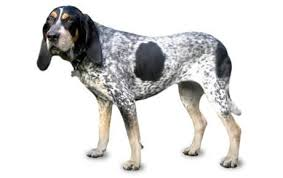 Bluetick Coonhound Size Chart Bluetick Coonhound Dog Breed Information Pictures
