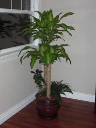 Tall House Plants Indoor House Plants Tall Indoor Plants Tall