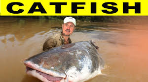 amazon river catfish. Simple Catfish To Amazon River Catfish YouTube