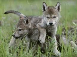 top cute baby wolf cub videos pilation 2017 best of