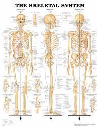 Skeletal System Anatomical Chart Human Skeleton Anatomy