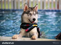 Siberian Husky Dog Wear Life Jacket ...