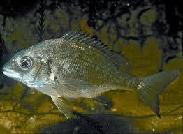 Native Fish Guide For Coastal Victoria