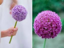 allium flowering onion flowers in season in may